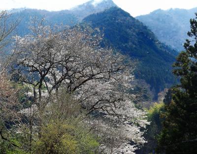若葉萌ゆる奥多摩の春(奥多摩山開き)