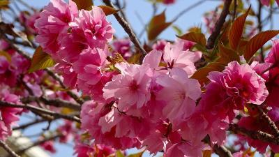 昆虫館から公園の桜と、たんたん小道に咲く桜花 上巻。