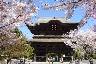 古都鎌倉 さくらめぐり (後半:建長寺、鶴岡八幡宮、段葛、妙本寺)