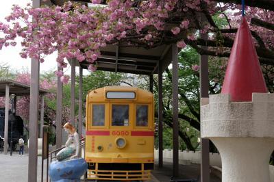 2018 飛鳥山 八重桜 満開。。
