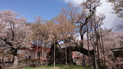神代桜を見に行きたくて。
