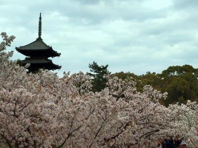 4月 菊乃井さんランチ の後 満開と聞いて 急きょ 仁和寺の御室桜 を見学に。