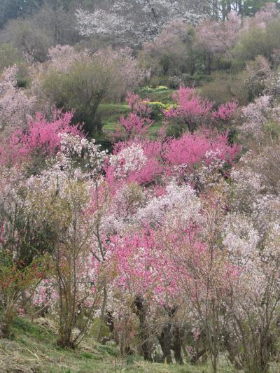 岳温泉に泊まって、花見山、三春へ