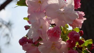 昆虫館から公園の桜と、たんたん小道に咲く桜花 中巻。
