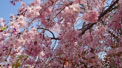 昆虫館から公園の桜と、たんたん小道に咲く桜花 下巻。