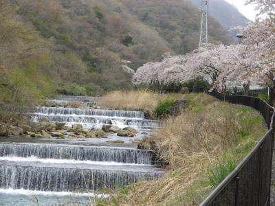 箱根早川堤の桜