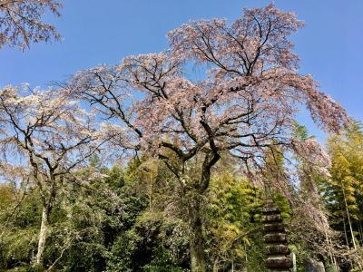 春の京都 2018 ⑦ 桜守邸の桜