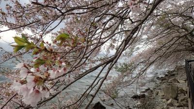 電車とバスで琵琶湖一周桜旅1泊2日~名残の花編