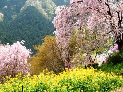 枝垂れ桜とミツバツツジの競演 乙津花の里 龍珠院