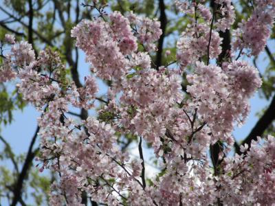 横浜里山ガーデン、桜いろいろ