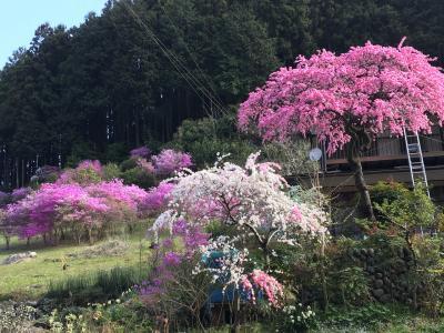 飯能の八徳の一本桜へ日帰りハイキング