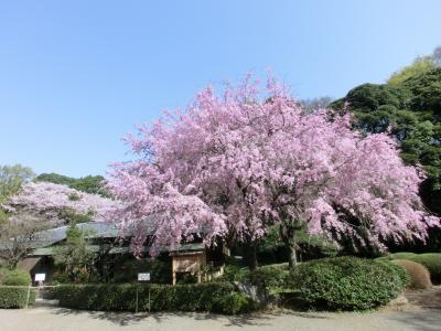 新宿御苑で桜を満喫♪~2018~