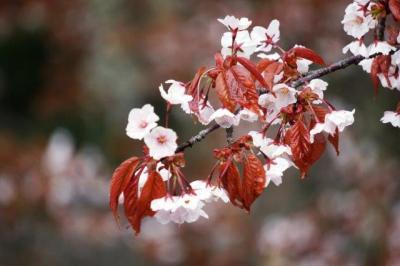 【吉野・京都】吉野山に山桜を観に