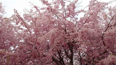 大和路4ッの枝垂れ桜巡りツアー(03) 大神神社参拝と枝垂れ桜 中巻。