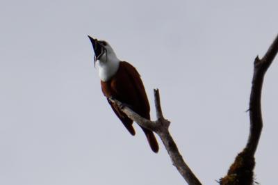 モンテベルデ保護区では数年ぶりにケツァールと再会!最近はこんなに簡単にケツァールを見れるの?でも一番の収穫はヒゲドリの鳴き声を聴けた事!