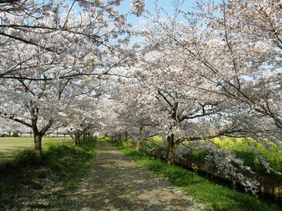 早朝ウォーキングで見られる自然の営みを・・・満開になった桜花と野の花