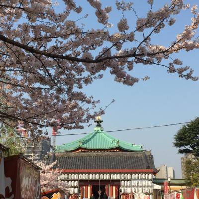 咲き急ぐ桜を追いかけて~上野公園