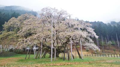 初めて見る淡墨桜
