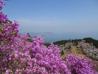 巨済島テグムサンのツツジと桜並木