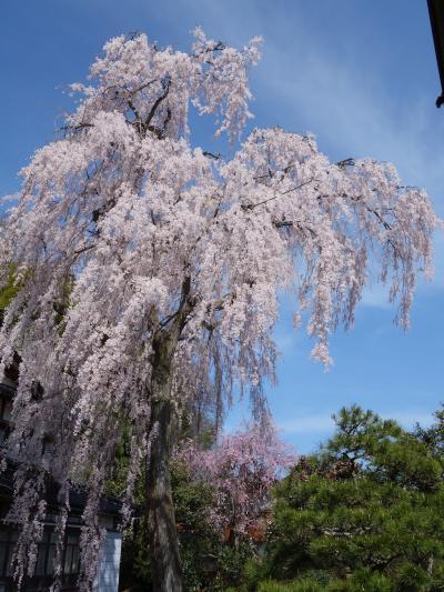 すばらしい「喜多家の枝垂れ桜」。これを見るためなら何千里も厭いません。 圧巻です。