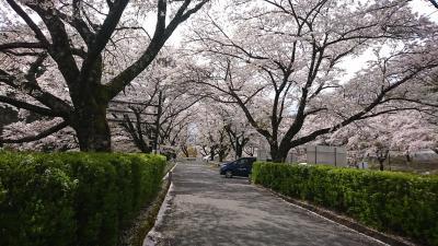 与田切公園の桜を満喫