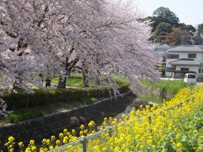 咲き急ぐ桜を追いかけて~見沼氷川公園