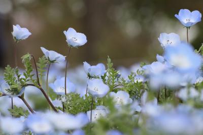 翳りの午後から夕方の昭和記念公園チューリップ詣(前編)超広角レンズで遊び、見頃のネモフィラに夢中になったチューリップまでの往路と日没直前の春の花