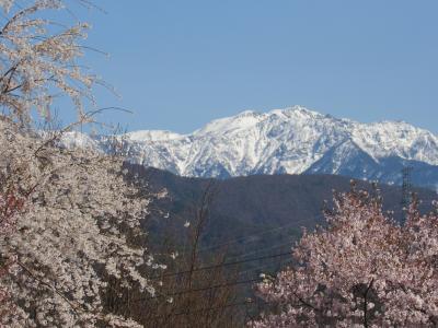 高遠の桜は散り気味