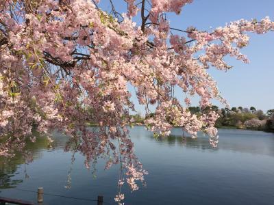 咲き急ぐ桜を追いかけて~洗足池