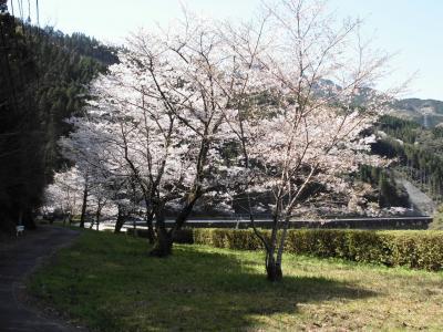 桜を楽しむドライブ