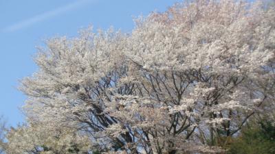 大和路4ッの枝垂れ桜巡りツアー(13) 針テラスから郡山城跡への車窓風景。