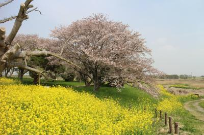 2018桜舞う関宿城、中の島公園、関宿水門