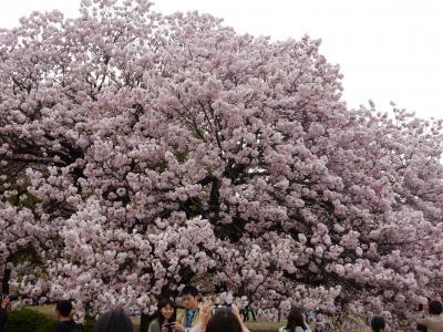 咲き急ぐ桜を追いかけて~新宿御苑の八重桜