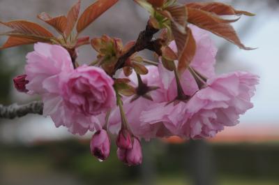 小野・桜づつみの八重桜