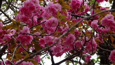 大和路4ッの枝垂れ桜巡りツアー(15) 郡山城跡の枝垂れ桜 下巻。