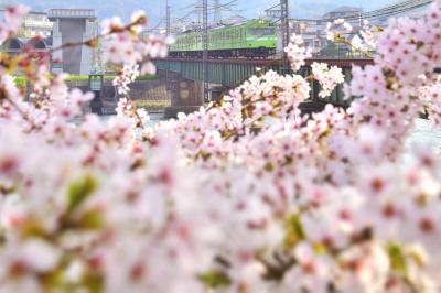 京都~宇治の地から眺める緑色の国鉄型車両103系と満開な桜の風景を探しに訪れてみた