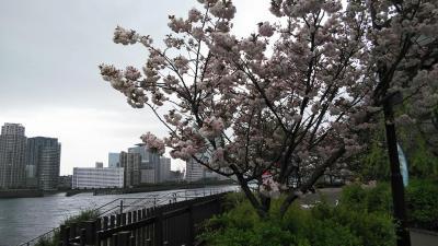 佃から大横川護岸の桜めぐりと明治丸見学