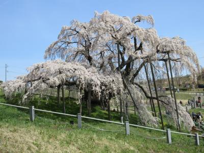 アクアマリンふくしま・スパリゾートハワイアンズのあと三春の滝桜などを満喫する旅