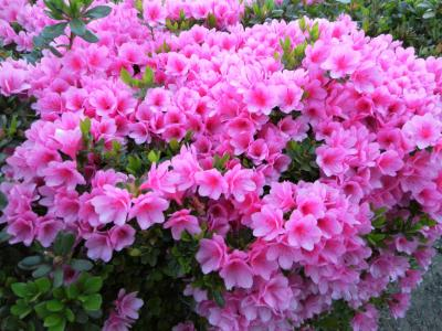 たくさんの花が満開に咲く春爛漫の大分へ帰郷しました!! 綺麗!! *(^-^)*