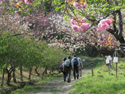 今年初めての秩父ハイキング⑥長瀞・通り抜けの桜を見る・・・その1
