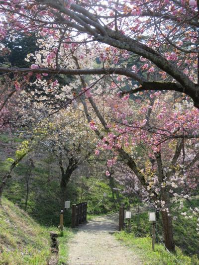 今年初めての秩父ハイキング⑦長瀞・通り抜けの桜を見る・・その2