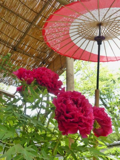 上野東照宮ぼたん苑のボタン_2018_見事に咲き揃っていて、見頃です。(台東区)