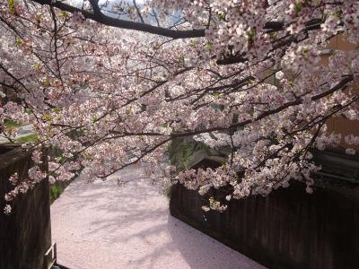 さくら吹雪に散る椿、京都「哲学の道」2018