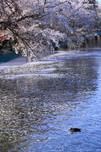 長野 桜めぐり~臥竜公園、和美の桜、高山村五大桜