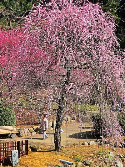 熱海梅園-1 梅まつり 日本一早咲きで有名 ☆全体では七分咲きで