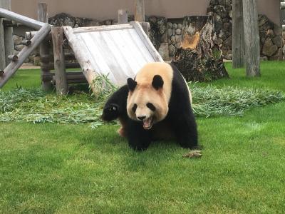 ジャイアントパンダに会いたい!はじめまして浜家パンダズ