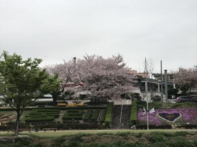 釜山・鎮海・ソウル桜巡り その1・・・まずは温泉川の桜