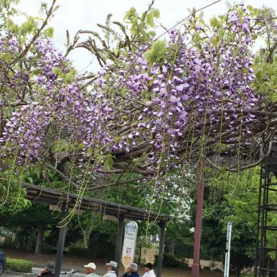 藤の花が満開の大宮花の丘農林公苑