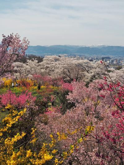 春爛漫!!百花繚乱!!春色であふれる花見山