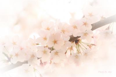 久しぶりに実家近くでお花見 ~石神井公園と石神井川の桜~